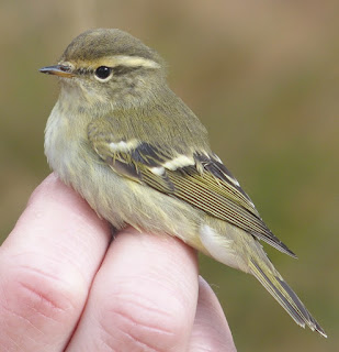 Yellow-browed Warbler at a ringing research session
