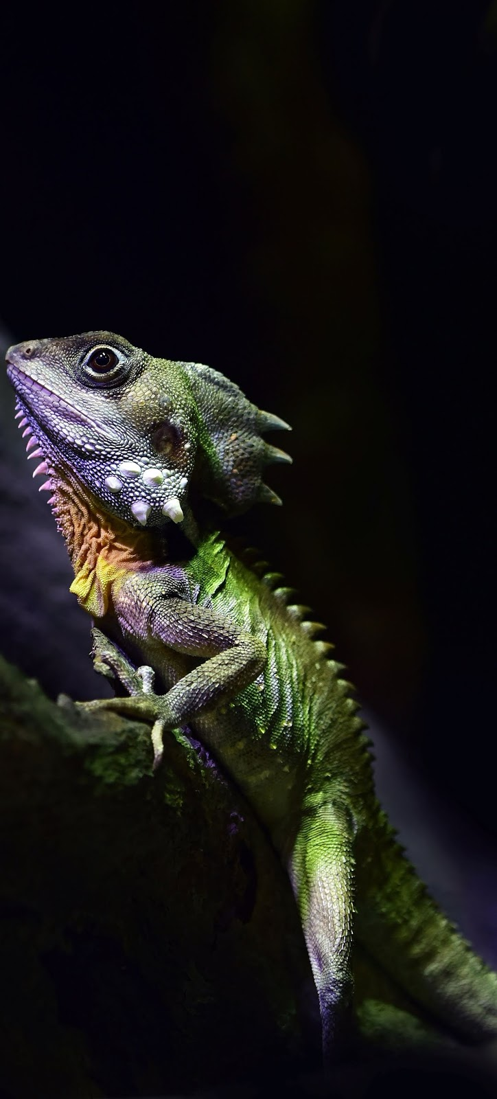 Picture of boyd's forest dragon.