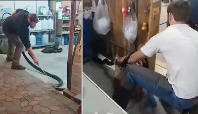 Ular king kobra dari dalam toko