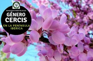 El género Cercis arboles caducifolios de 5 a 10 m de altura, con tronco irregular