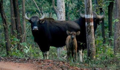 Barnawapara Abhyaran Chhattisgarh, Barnawapara wildlife sanctuary Chhattisgarh ( बारनवापारा अभ्यारण छत्तीसगढ़ )