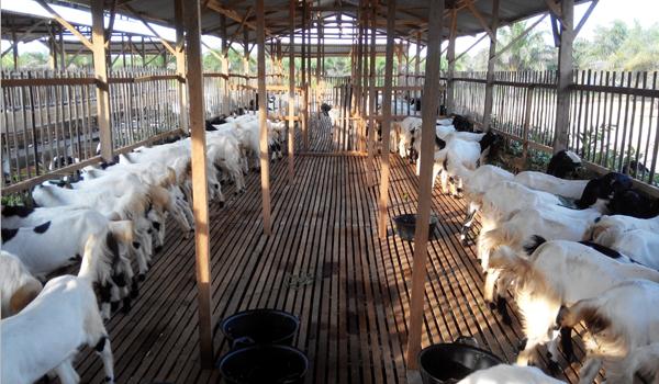 Usaha pengemukan kambing