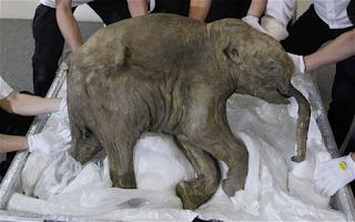 mamute 2 blog - Cientistas irão reviver o Mamute-lanoso