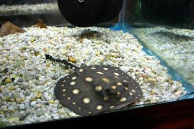 Ikan pari polka dot