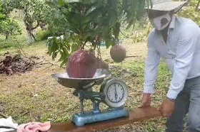 Colombian farmers break Guinness record with 9.36-pound mango|interesting news|