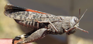 Arphia pseudonietana, Red-winged Grasshopper