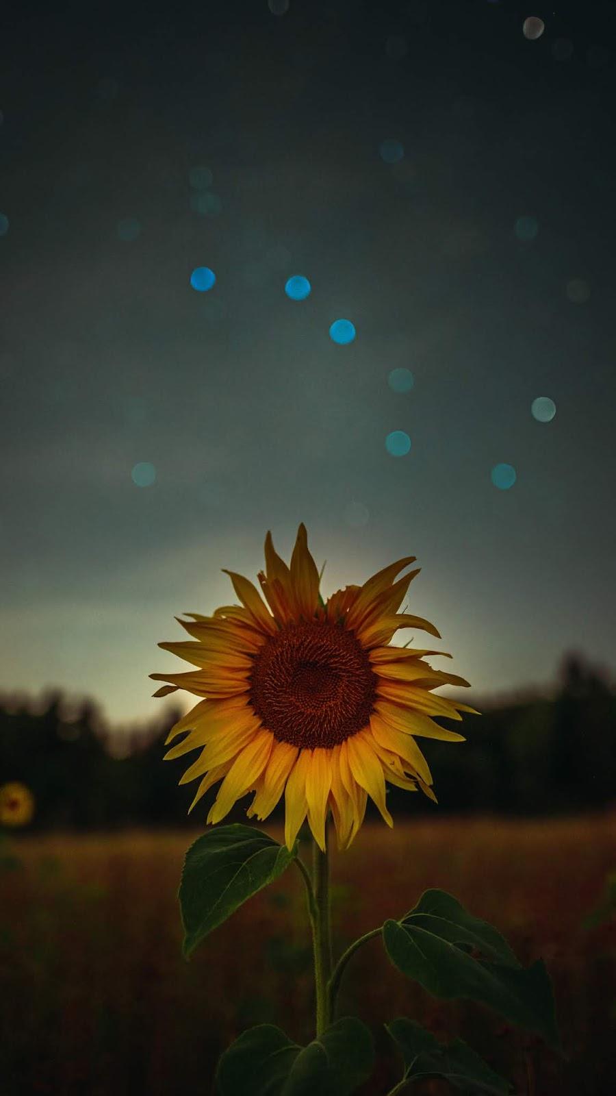 Hoa hướng dương giữa màn đêm