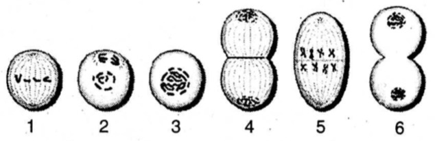 Perhatikan Fase Pembelahan Mitosis Berikut Urutan Fase Pembelahan Mitosis Adalah Mas Dayat