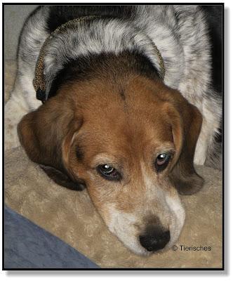 Beagle Emma, das ist ihr Hundeblog