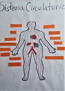 maqueta del aparato circulatorio