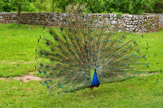 Peacock Bird in Monastery Saint Naum on Ohrid Lake