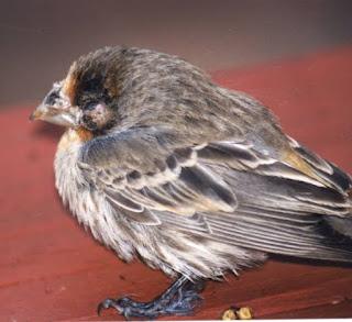 Burung yang sedang dan penyakit pada burung