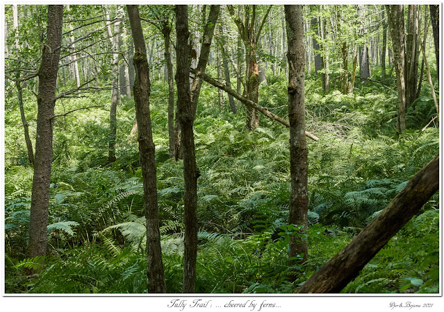 Tully Trail: ... cheered by ferns...