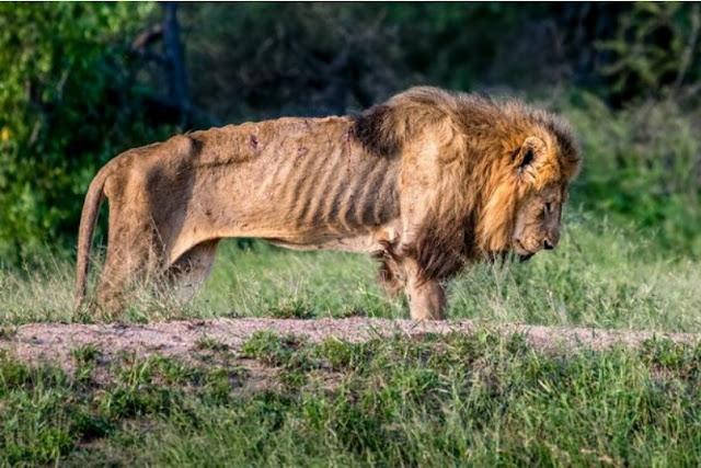 Foto-Foto Singa Kurus yang Begitu Memilukan Hingga Akhirnya Mati