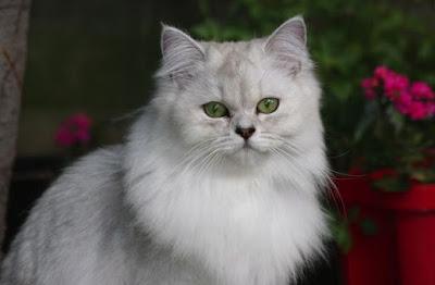 Karakter Kucing Tiffanie
