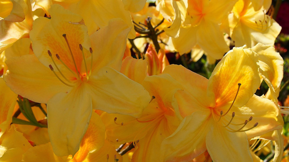 Yellow azalea blooms in Marietta Ga garden