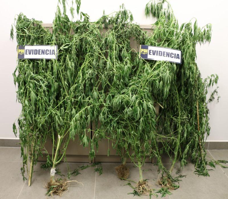 Incautación plantas de marihuana