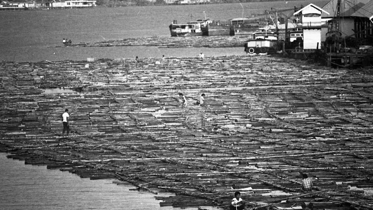 ribuan kubik kayu gelondong