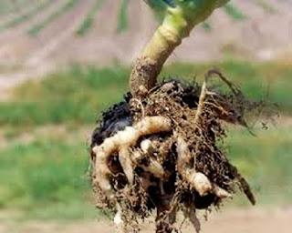 akar gada pada brokoli