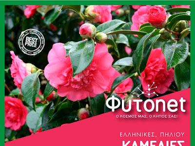 POT PLANTS > Στέλιος Δημητρίου > Flowers > Φυτά > Φυτώριο> Γούναρη 247 & Γληνού 1, Γλυφάδα , Αττική 2130360239 ………. «Φυτά που ταιριάζουν σε κάθε ελληνικό σπίτι, ΚΑΜΕΛΙΑ»