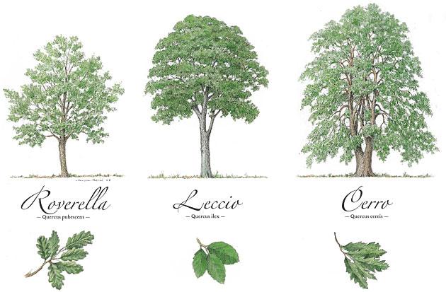Adea amici degli alberi riconoscere gli alberi for Quercia sempreverde