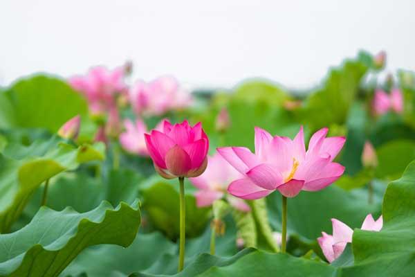 hoa ăn được - hoa sen