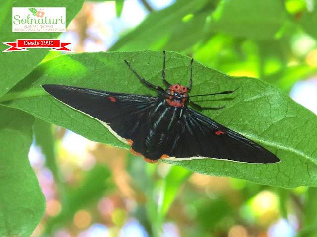 Phocides polybius mariposa Polibio ovipone en Anacahuita