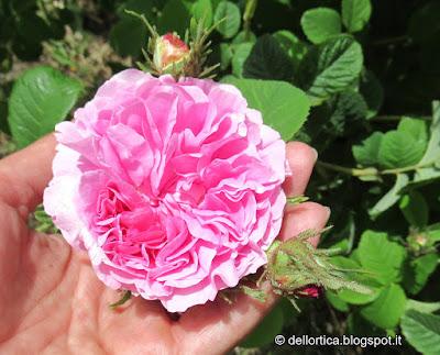 confettura di petali di rosa antica, di rosa inglese, di rosa tea, di rosa gallica officinalis, gelatina di fiori di tarassaco, confetture di piccoli frutti, di amarene, di fichi, di prugne, di lamponi, di ribes e di uva spina