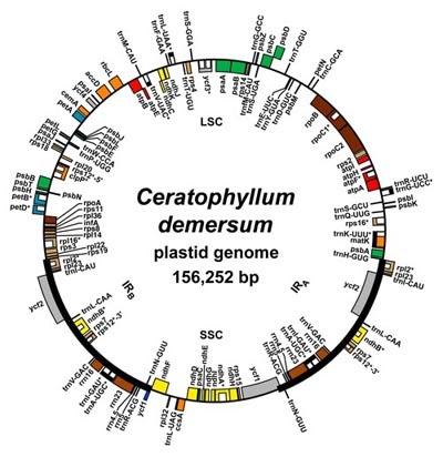 Chloroplast DNA (cp DNA) ~ Biology Exams 4 U