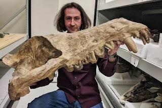 Fósil del Andrewsarchus Mongoliensis