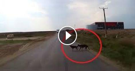 За секунду до неотвратимого пес спас свою подругу!