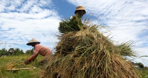 Distannak Abdya Jamin Kualitas Benih Terbaik Untuk Petani