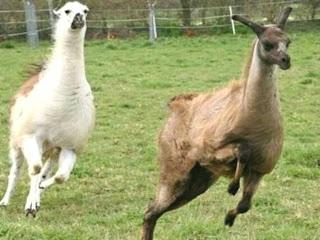 علماء من بلجيكا يفجرون مفاجأة : دم حيوان اللاما قد يكون هو الحل للقضاء على فيروس كورونا