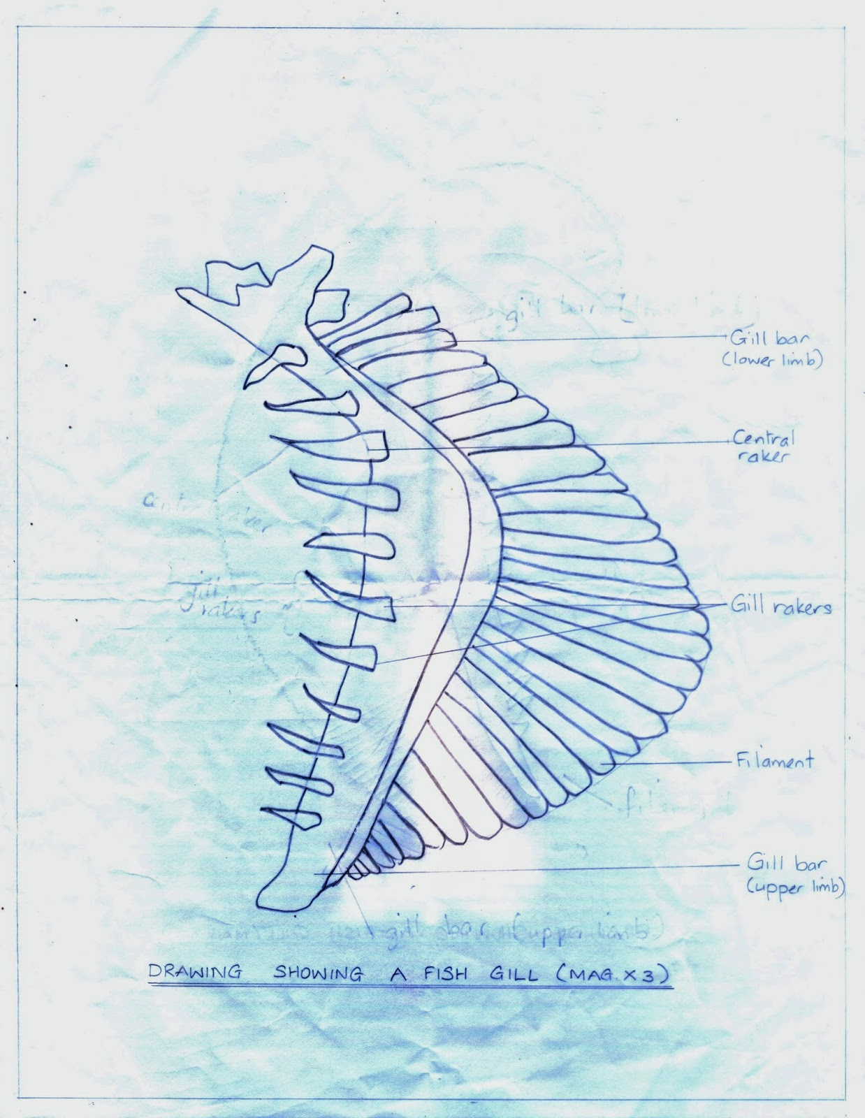 ameed 39 s secondary division blog biology sba diagram fish gill. Black Bedroom Furniture Sets. Home Design Ideas