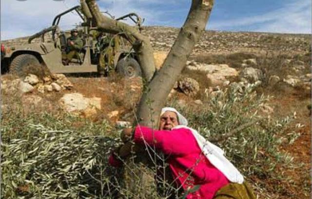 الاحتلال يقتلع 60 شجرة زيتون