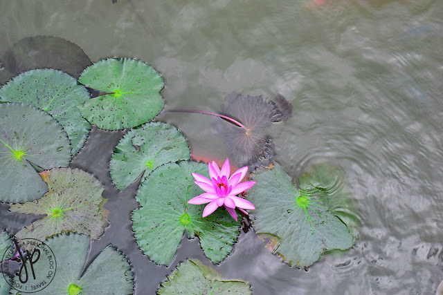leaves, pond, water lily