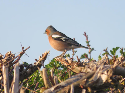 Chaffinch perched on a bare hedge (photo)