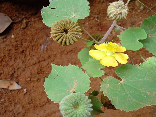 This mysterious plant can eliminate 50 dangerous diseases from its roots