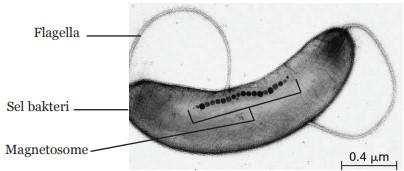 Magnet dalam Tubuh Bakteri