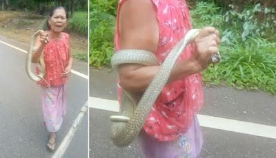 Nenek 75 tahun bawa king kobra di tangannya