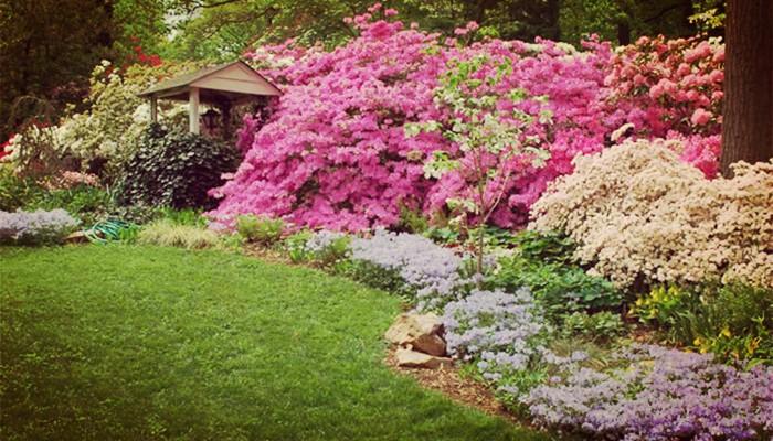 Azaleas flores