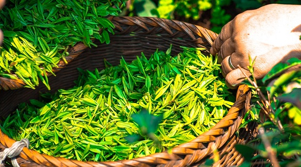 artikel kesehatan, green tea, herbal, kesehatan, Manfaat Kesehatan, Manfaat Tanaman Herbal, manfaat teh hijau, teh herbal, teh hijau,