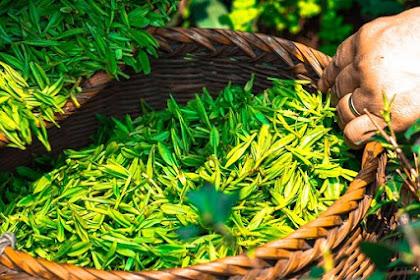 10 Manfaat minum teh hijau untuk kesehatan tubuh