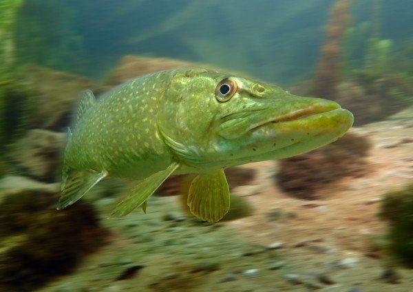 The Best Underwater Photos EVER Taken Show Life From A Different Angle. - 'Pike on the move' by Trevor Rees (UK)