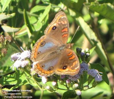 Mariposa cuatro ojos (Junonia evarete)