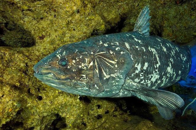 Fish that outlived dinosaurs reveals secrets of ancient skull evolution