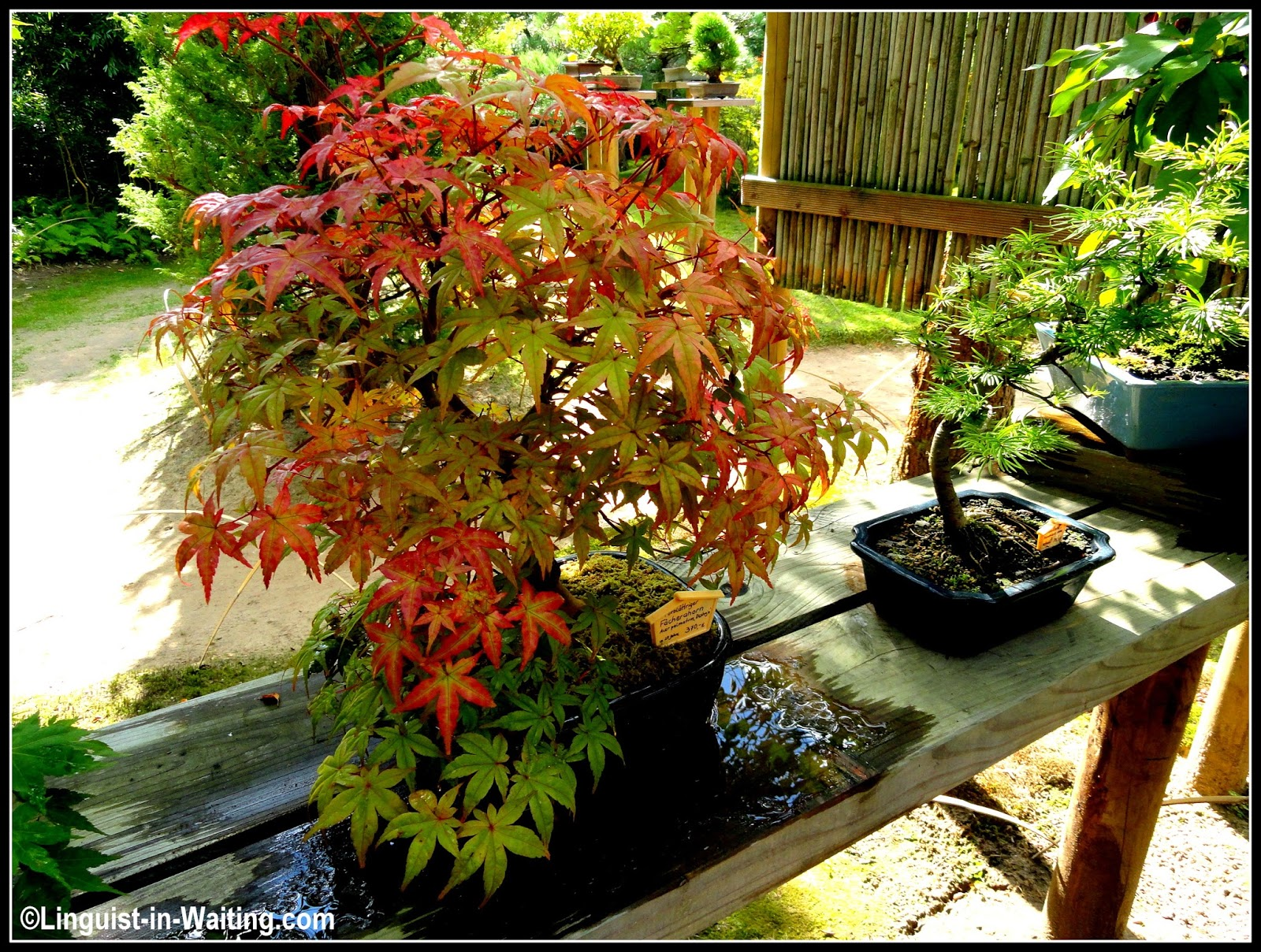 Memoirs of a Traveling Ex-Linguist: Year 14: The Japanese Bonsai ...