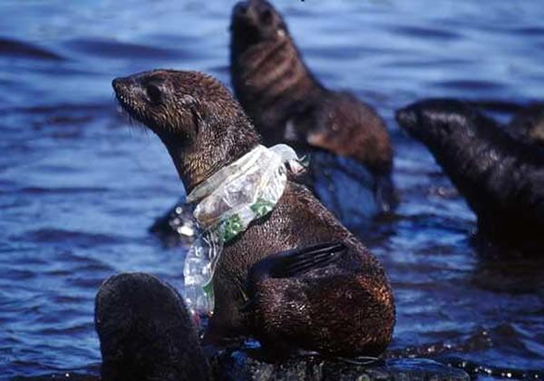 Fur seal caught in plastic debris