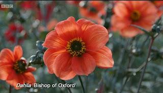 Dahlia 'Bishop of Oxford'