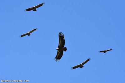 Voltors comuns en vol